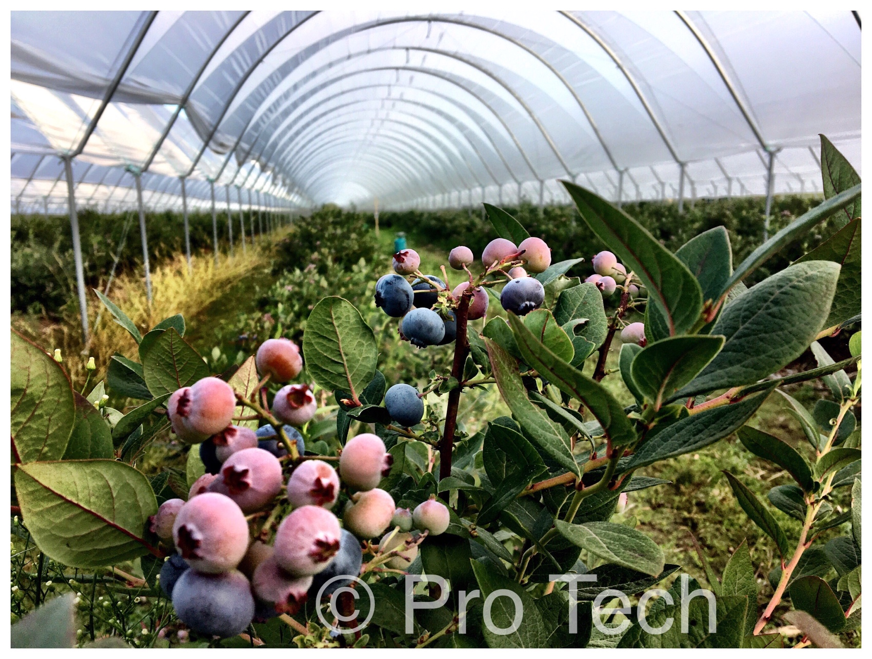 Blueberries polytunnels, Protech Future, agricultural polythene